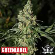Green Label Seeds Killer White